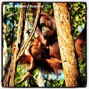 Orang Utan - Taman Nasional Tanjung Puting